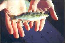 ph_striped_bass.jpg