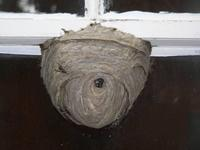 wasp nest on window